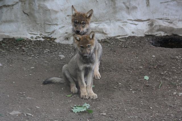 alpha-pup